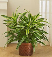 Dracaena Gold Star Floor Plant