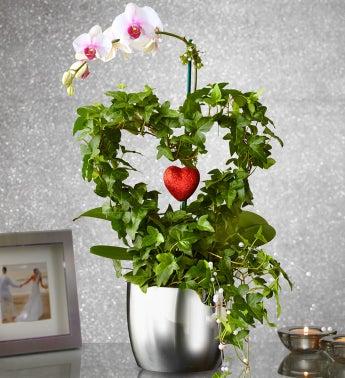 Phalaenopsis Heart Orchid