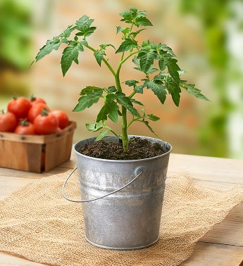 Heirloom Tomato Plant