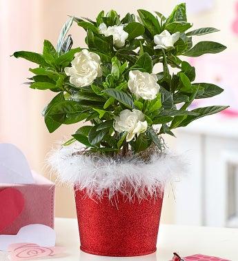 Glimmering Love Gardenia