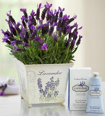 Lovely Lavender Plant