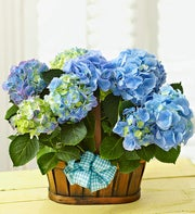 Hydrangea Double Bloomer