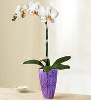 Sensational Orchid