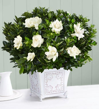 grand gardenia plant in white washed planter