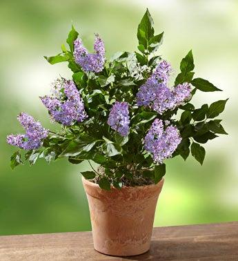 korean lilac plant