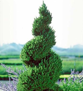 Dwarf Alberta Spiral Spruce Tree