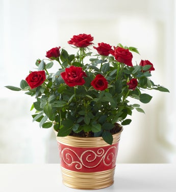 Holiday Red Rose Plant