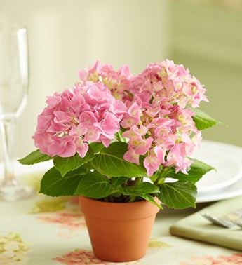 Pink Hydrangea Flowering Shrub