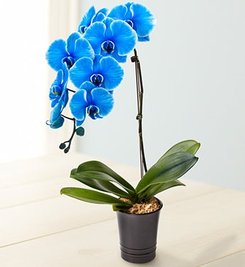 Wishing Peace & Love Blue Orchid