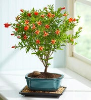 Pomegranate Bonsai