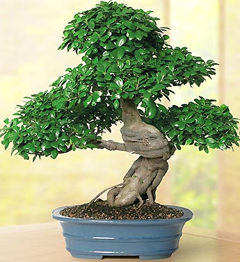 Grafted Ficus 20 Year Specimen Bonsai