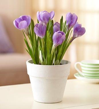Silk Crocus Blooms